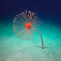 A rare deep-sea hydroid was discovered by Dr Nerida Wilson (Chief Scientist, Western Australian Museum) and her team. This giant hydroid, approximately a meter high, was found at 2497 m in Cape Range Canyon using ROV SuBastian. Branchiocerianthus is a giant hydroid that consists of a single polyp on a long stem living on a sandy bottom. It is a close relative of corals, anemones and sea fans. Giant hydroids have never been observed in Australian waters before, so this one might be a new species.