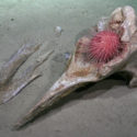 FK200126-WhaleFall-Urchin